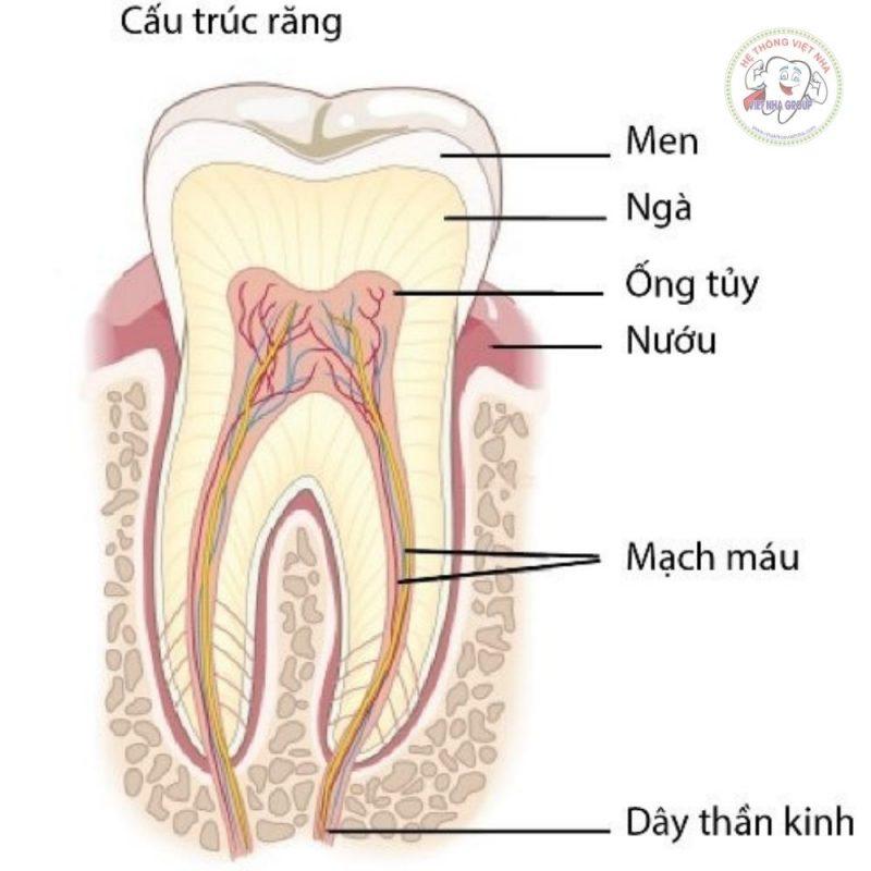 Cấu trúc răng - Điều trị tủy răng Nha khoa Việt Nha