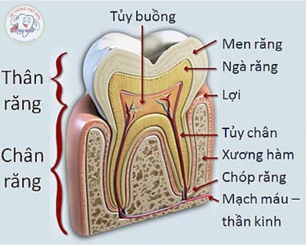 Cấu trúc Răng chi tiết - Điều trị tủy răng - Nha khoa Việt Nha