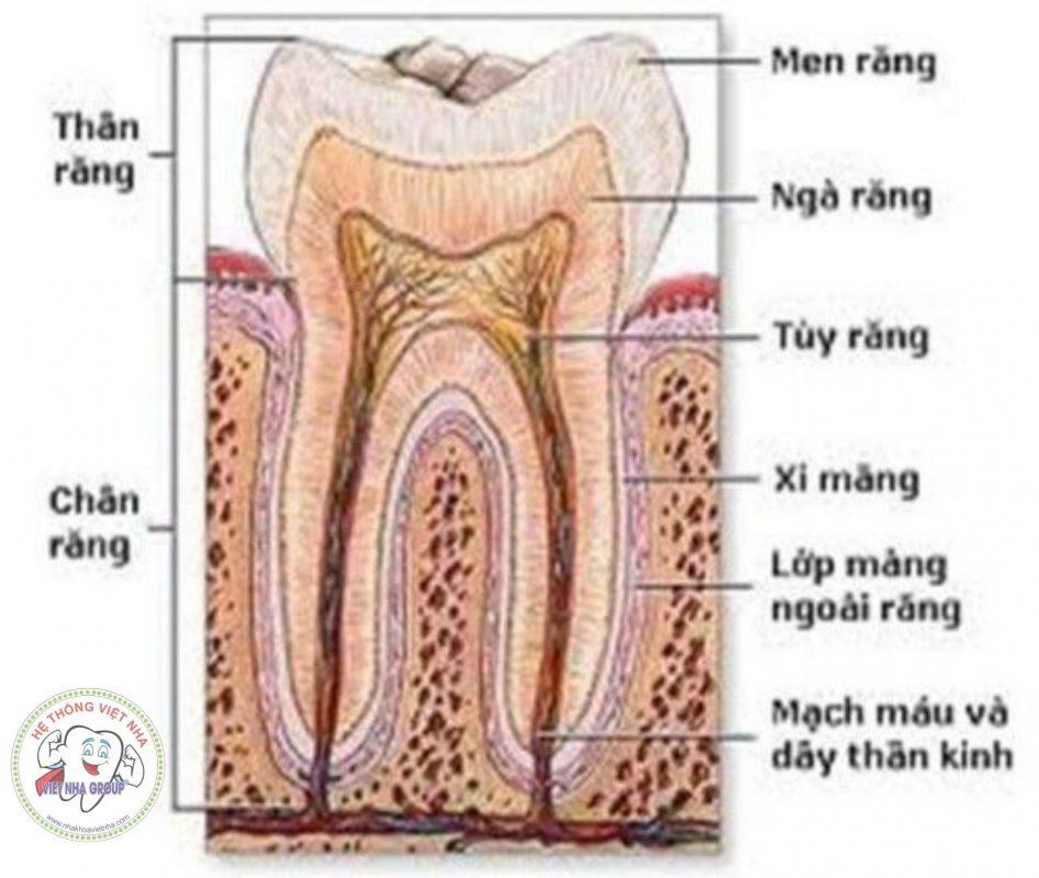 Cấu tạo của 1 chiếc răng